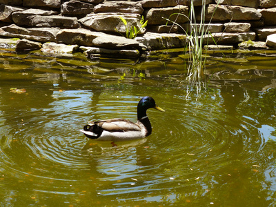 How To Prevent Ducks From Getting In Swimming Pools Ehow