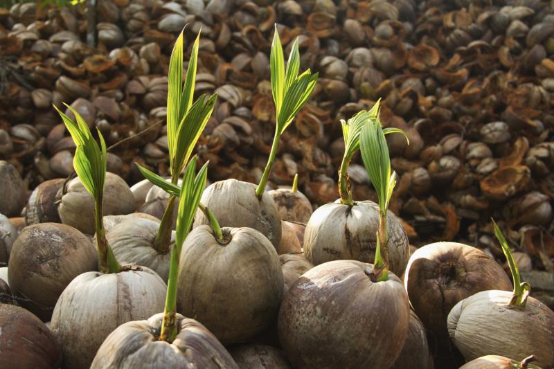 Care of a Coconut Palm Tree Houseplant   eHow
