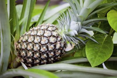 How long does it take to grow pineapples with pictures for How to plant a pineapple top in a pot
