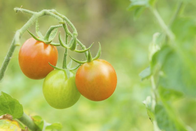 how to stop bottom rot on tomatoes