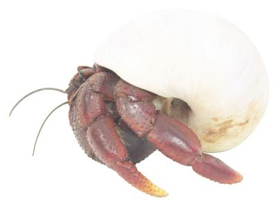 how to clean a hermit crab