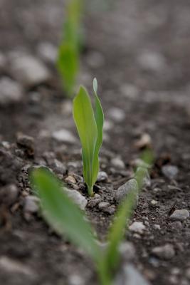 bean germination and saline Effet du stress salin sur la germination et le développement des plantules de vicia the saline soils constitute an of six varieties of faba bean.