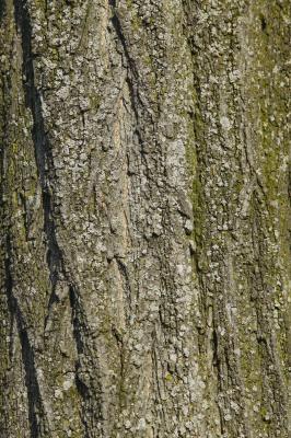 fig tree and amazon fruit bat relationship