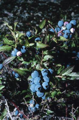 Winter Care For Blueberry Bushes With Pictures Ehow