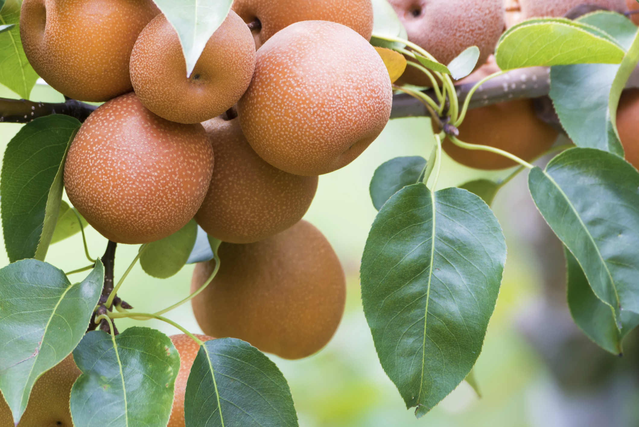Will pruning asian pear trees 5440 think