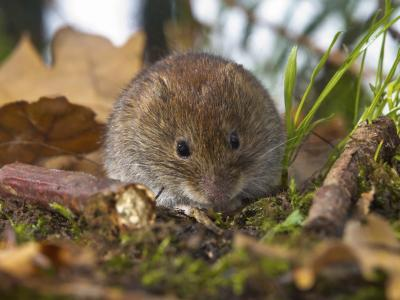how to get rid of large populations of voles