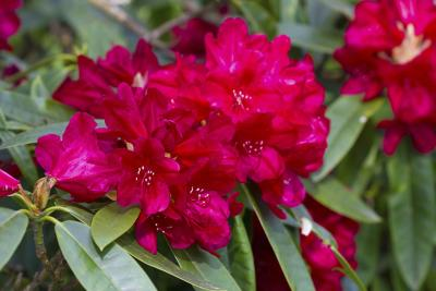 How to care for a rhododendron ehow for How to care for rhododendrons after blooming