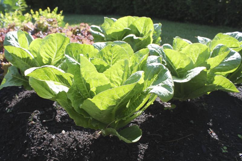 how to grow romaine lettuce