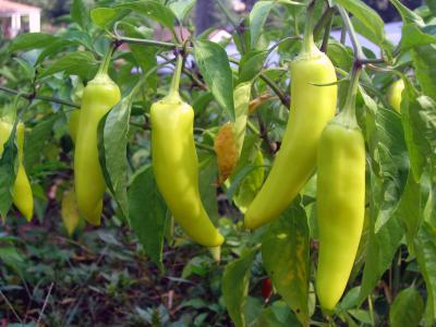 How to can sweet banana peppers ehow - How to can banana peppers from your garden ...
