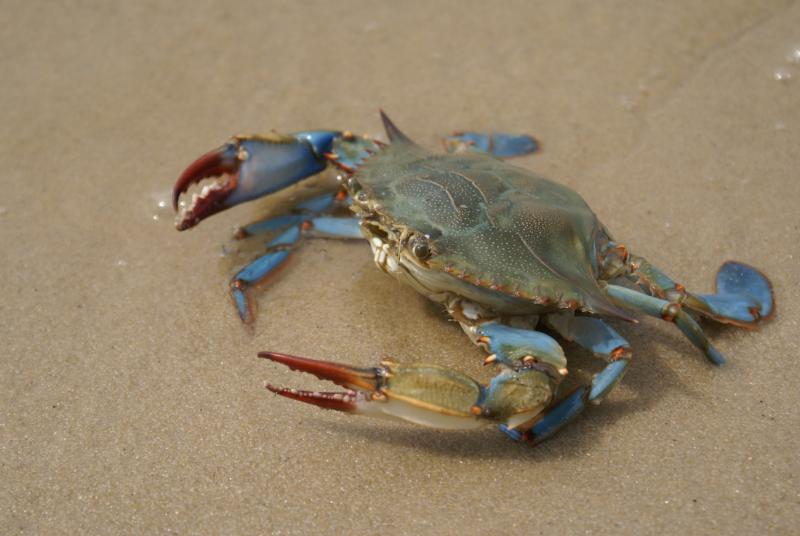 Interesting Facts on Blue Crabs | eHow