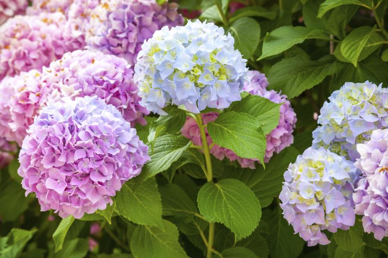 Hydrangea fall care with pictures ehow - Caring hydrangea garden ...