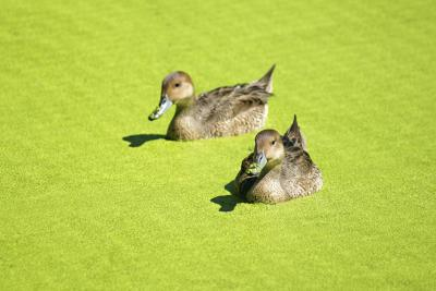 How To Get Rid Of Duckweed In A Pond With Pictures Ehow