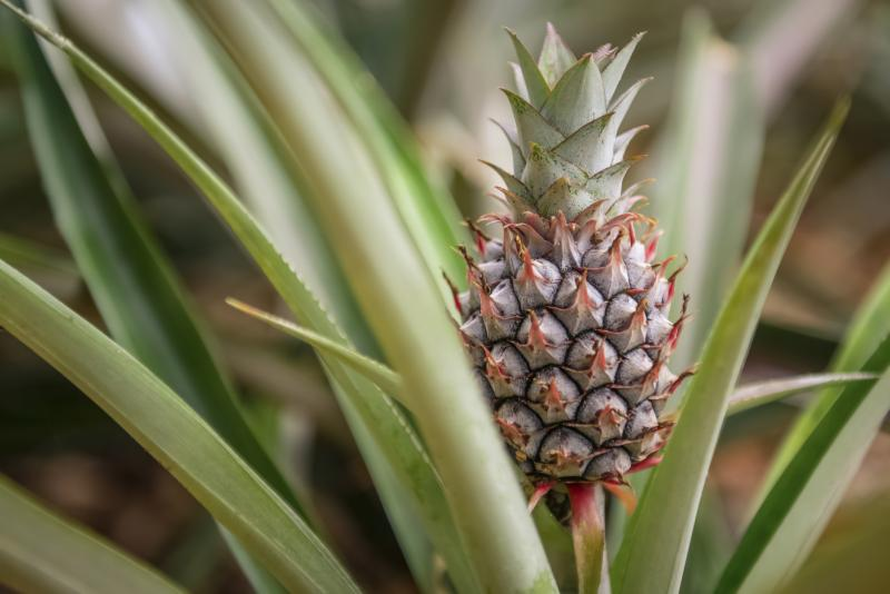 How to grow pineapple plants from pineapple tops ehow for Plant pineapple top