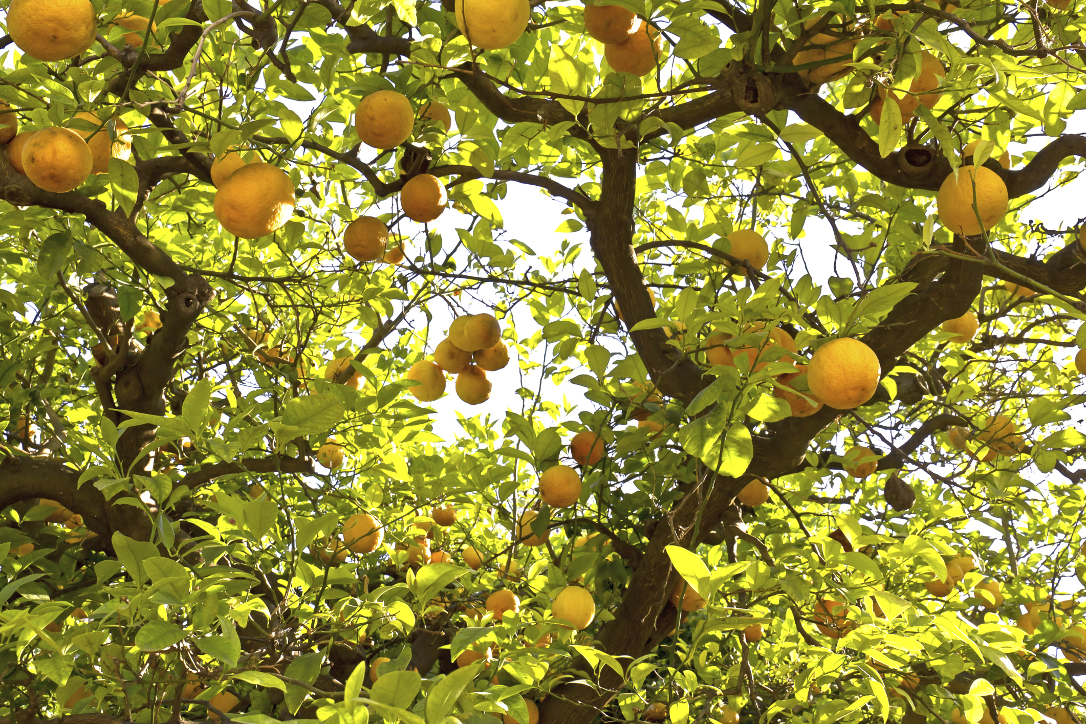 The life cycle of a citrus tree ehow for Lemon plant images