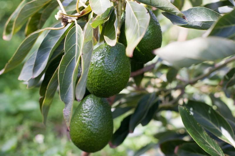 how to grow an avocado tree in minnesota ehow. Black Bedroom Furniture Sets. Home Design Ideas