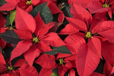 how to keep a poinsettia