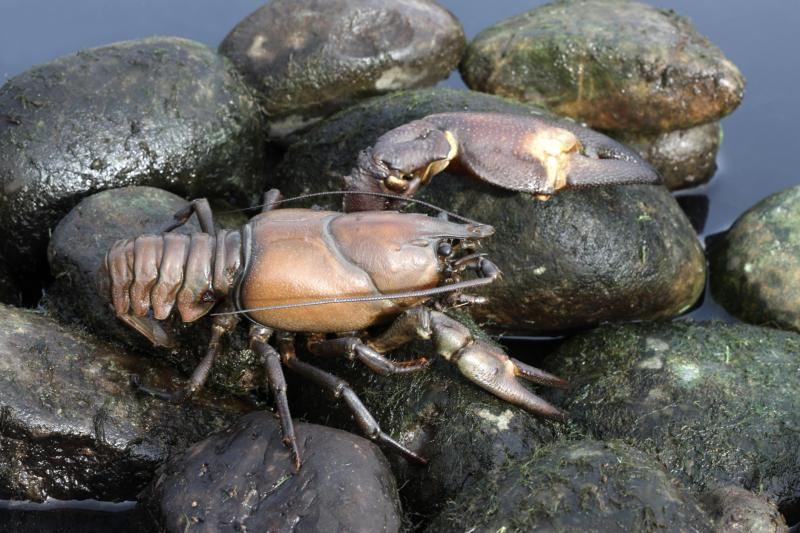 How to find wisconsin crawfish gone outdoors your for Fishing with crawfish