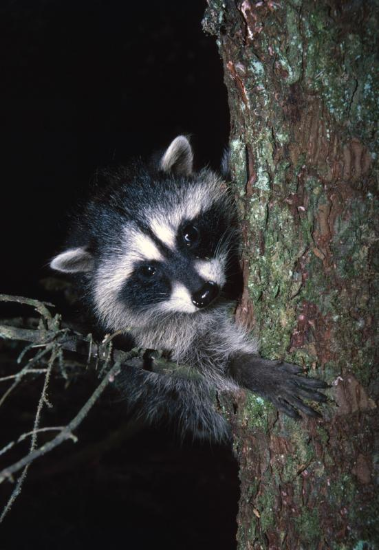 How To Make A Snare Trap For A Raccoon Gone Outdoors