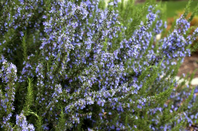 how to keep rosemary from dying