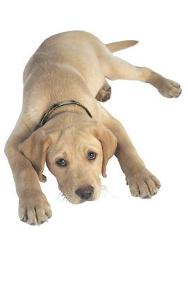 Can Adult Dogs Get Parvo