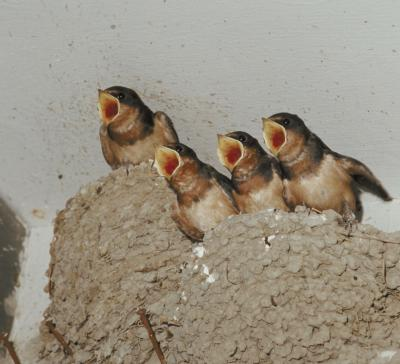 Orphaned Barn Swallow Diets Sciencing