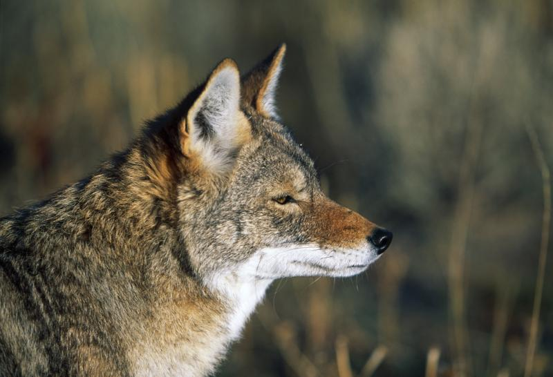 Coyote hunting regulations in alabama gone outdoors for Alabama game and fish regulations