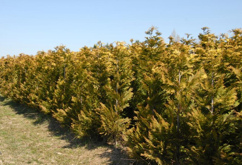 Fast Growing Bushes Or Shrubs For Privacy EHow