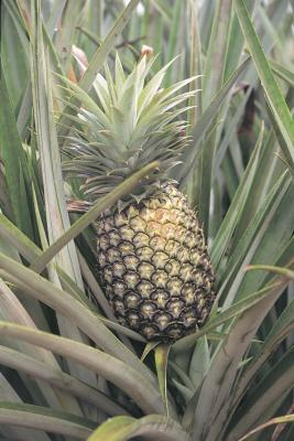 how long does it take to grow pineapples with pictures ehow. Black Bedroom Furniture Sets. Home Design Ideas