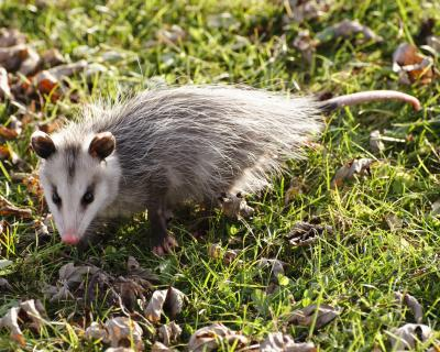 Do it yourself possom repellent with pictures ehow - How to get rid of possums in the garden ...