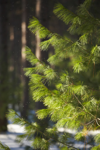 Pine Trees Can Grow To Be Extremely Tall If You Don T Keep Them Trimmed