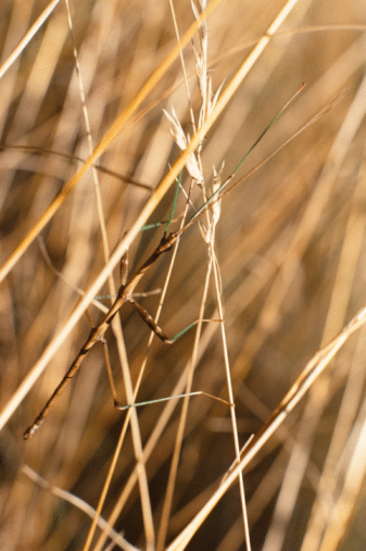 What Is The Difference Between A Walking Stick A Praying Mantis