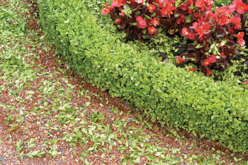 Boxwood Shrubs Feature Shallow Roots
