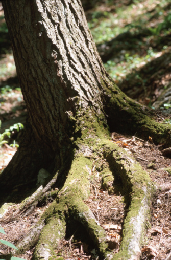 Tree Roots In The Yard Prevent Gr And Other Plants From Growing