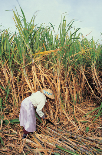 How To Grow Sugar Cane From Seed