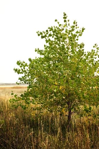 Prune Catalpa Trees To Make Them Healthier
