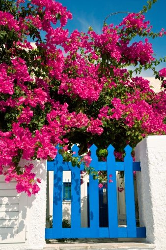 Bright Green Leaves Are A Sure Sign Of Healthy Bougainvillea