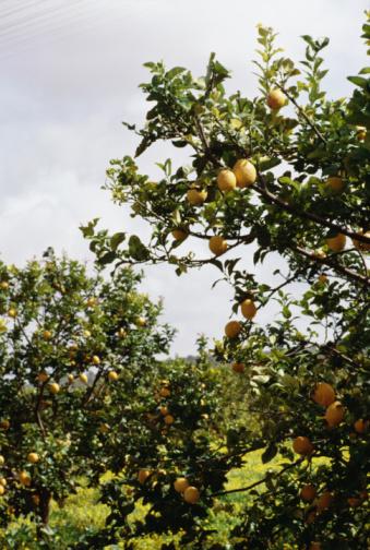 Do Lemon Trees Grow Well In Georgia