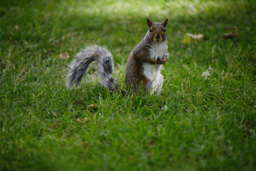 Squirrels Are Territorial And Will Protect Their Area From Other