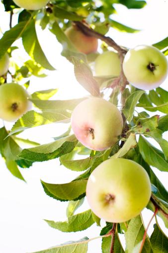 Apple Tree Leaf Diseases Uk