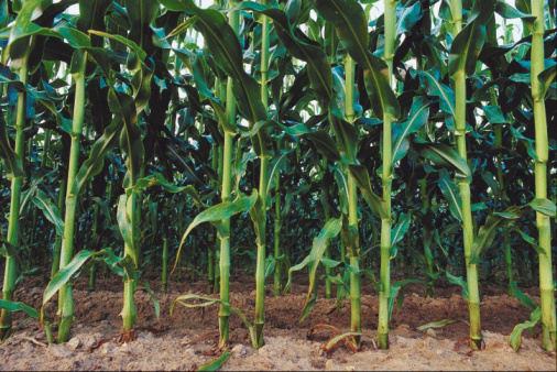 Short Or Tall Corn Stalks Under The Right Conditions Produce Plenty Of