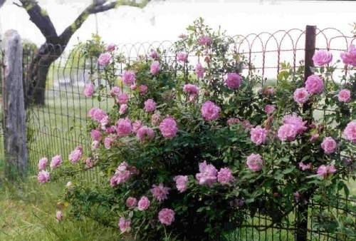 Double Loop Ornamental Fence