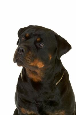 Are Rottweilers Illegal in Some States?
