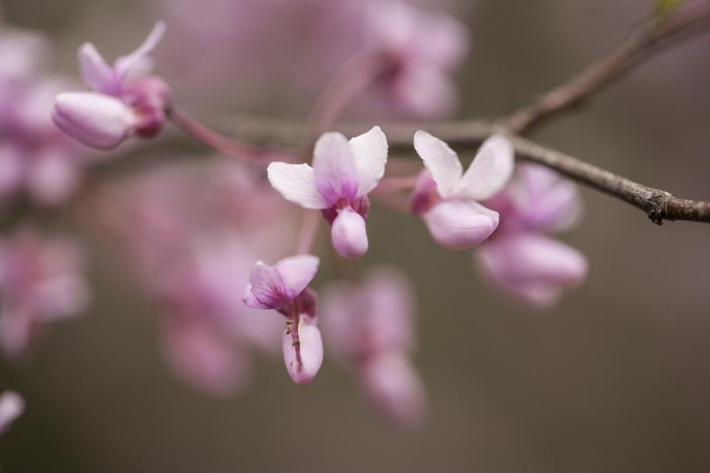 How To Grow Redbud Trees From Seed