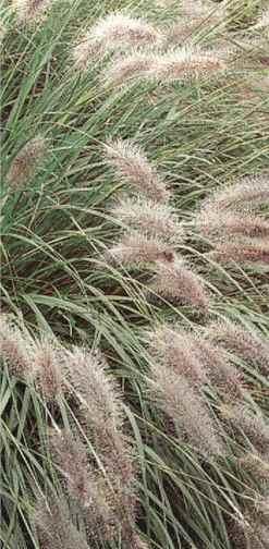 Common Ornamental Grasses Ornamental grasses garden guides workwithnaturefo