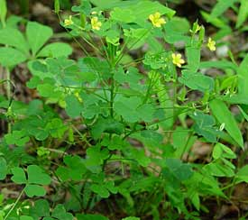 Woodsorrel Weed Garden Guides